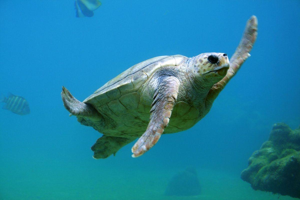 Mořské želvy v Indonésii